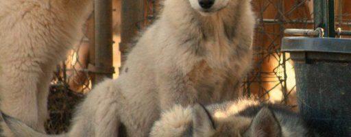 , Cuccioli di lupo nei Magredi