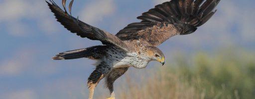 Un'aquila del bonelli vola dalla Sicilia alla Sardegna, Un'aquila del Bonelli vola dalla Sicilia alla Sardegna