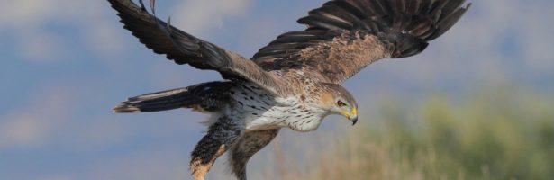 Un'aquila del Bonelli vola dalla Sicilia alla Sardegna