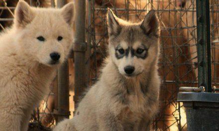 Cuccioli di lupo nei Magredi