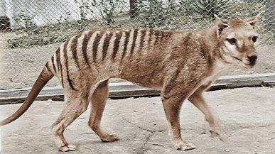 Ecco com'era la tigre della Tasmania: l'animale ormai scomparso ritrova i colori