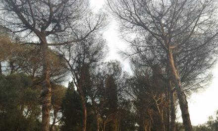"""I pini di Roma (e non solo) minacciati da un'invasione 'aliena'. """"L'80% delle piante in pericolo"""""""