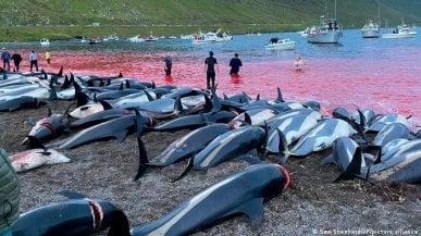 Alle Faroe una mattanza di 1500 delfini. E gli abitanti si dividono