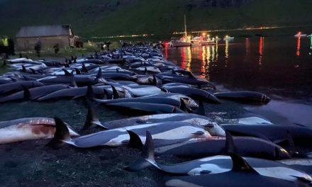 """""""La pesca sostenibile non esiste, ma la mattanza alle Faroe non è il danno peggiore"""""""