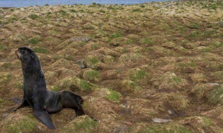 Alaska. Nell'isola che massacrava le foche il sindaco ora vuole salvarle. Creando un santuario marino