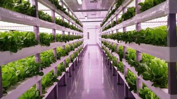 """L'insalata """"verticale"""" arriva sugli scaffali, senza pesticidi"""