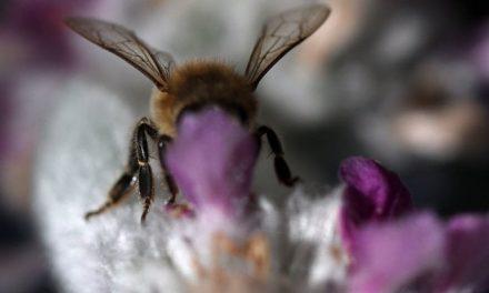Ispra: il 9% di api e farfalle è a rischio estinzione: un danno da circa 3 miliardi di euro all'anno