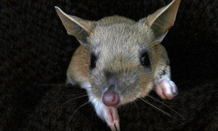 Museruole e maremmani per salvare il bandicoot: e il marsupiale è tornato
