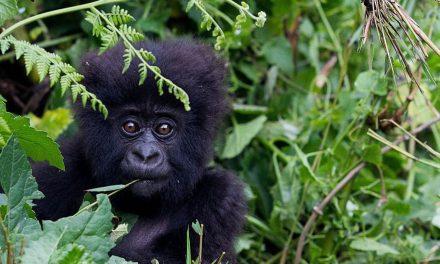 """Giornata mondiale del gorilla: """"Il Covid ha danneggiato le specie di montagna"""""""