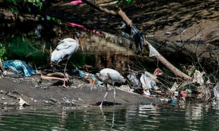 Nel 2050 il 99% degli uccelli marini avrà mangiato plastica