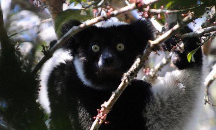 I lemuri cantano come noi e tengono il ritmo