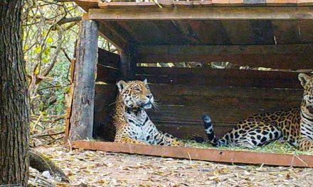 Lei nata in uno zoo, lui selvatico; in Argentina il matrimonio combinato estremo per salvare il giaguaro
